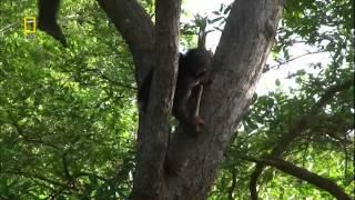 Шимпанзе охотятся копьями