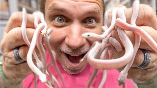 HATCHED THESE BABY SNAKES FOR THE VERY FIRST TIME!! INSANE!! | BRIAN BARCZYK
