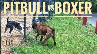 Pit Bull Vs Boxer Dog Attack