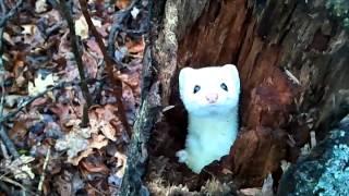 Смотреть онлайн Белоснежный горностай выглядывает из дупла дерева