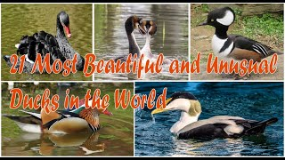 21 Most Beautiful and Unusual Ducks in the World