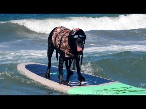 Watch Dogs Hit The Beach For The Annual Dog Surfing Competition