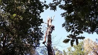 palombe.org  Élagage d'un pin suite à la dernière tempête à la palombière