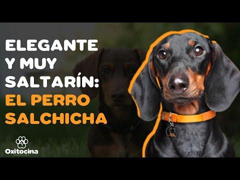 9 cosas que debes saber sobre el perro salchicha (Dachshund o Teckel)