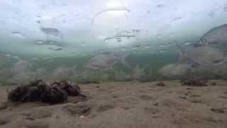 Подводное видео с зимней рыбалки. Большая стая рыбы крупным планом.