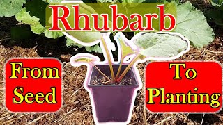 Grow Rhubarb from Seed