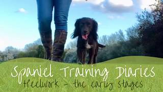 Gundog Training - Heelwork (the early stages)