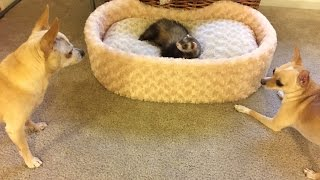 Funny Ferret And Two Chihuahuas Playing