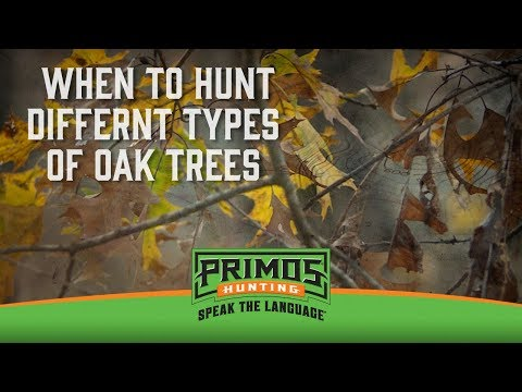 How to Hunt Oak Trees for Deer video thumbnail