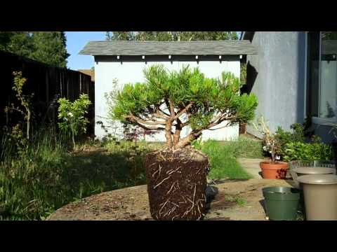 Mugo Pine Bonsai Preparation Part II.mp4