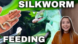 Feeding My Pet Lizards SILKWORMS!
