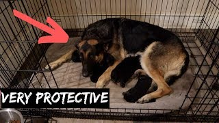 Im Sorry But Its Too Dangerous To Attempt With German Shepherds So We Took Her Advice!