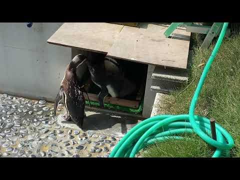 【池田動物園公式】親ペンギンにエサを要求するヒナペンギン