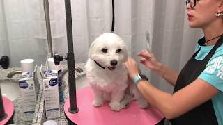 Maltese Mini Grooming At Home For Beginners