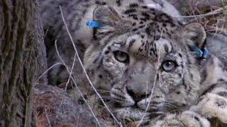 Tagging a predator on the hunt | Snow Leopard: Beyond the Myth | BBC