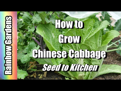, title : 'How to Grow Napa / Chinese Cabbage 101 - Seed to Kitchen! Everything You Need to Know