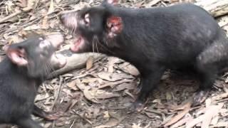 Tasmanian Devil FIGHT!
