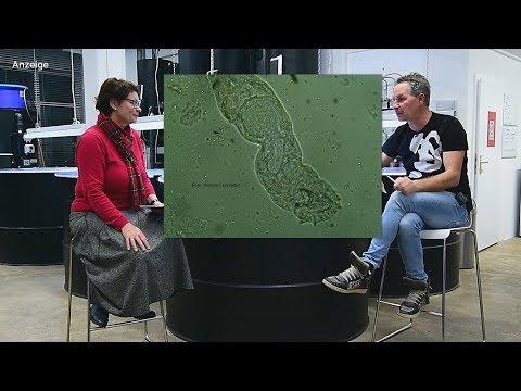 Die Würmer beim Fisch tolstolobik