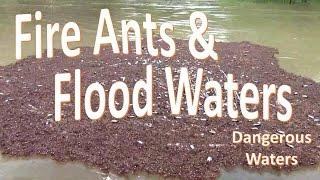 Fire Ants in Flood Waters -Warning Water Hazard-