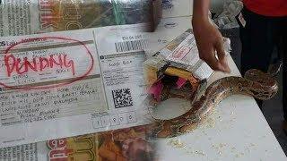 Merasa Ada yang Bergerak, Petugas Pos Temukan Ular Sanca dalam Paket Berlabel 'Sepatu Bola'