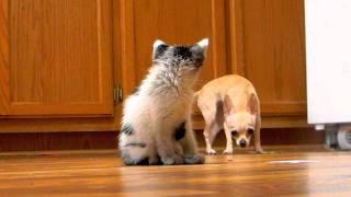 Cat Vs Chihuahua
