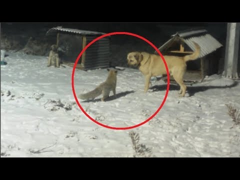 Brave Fox Confronts A Kangal!!!
