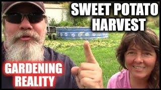 Sweet Potato Harvest | Raised Bed Garden | Harvesting Sweet Potatoes