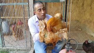 زياره جديده الى اكبر مزارع دجاج الزينه الجميل والنادر مع جمال العمواسي