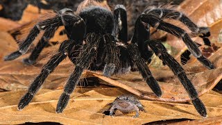 Newswise:Video Embedded u-m-biologists-capture-super-creepy-photos-of-amazon-spiders-making-meals-of-frogs-lizards-and-furry-mammals