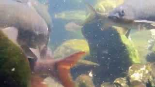 preview picture of video 'Kelah dilubuk cetek.'