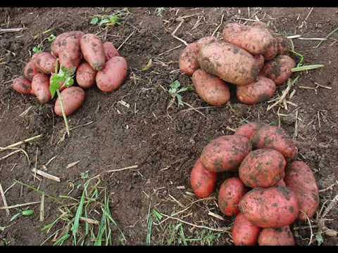 И в саду, и в огороде. Картофель: сорта, посадка и уход