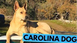 Carolina Dog - American Dingo - TOP 10 Interesting Facts