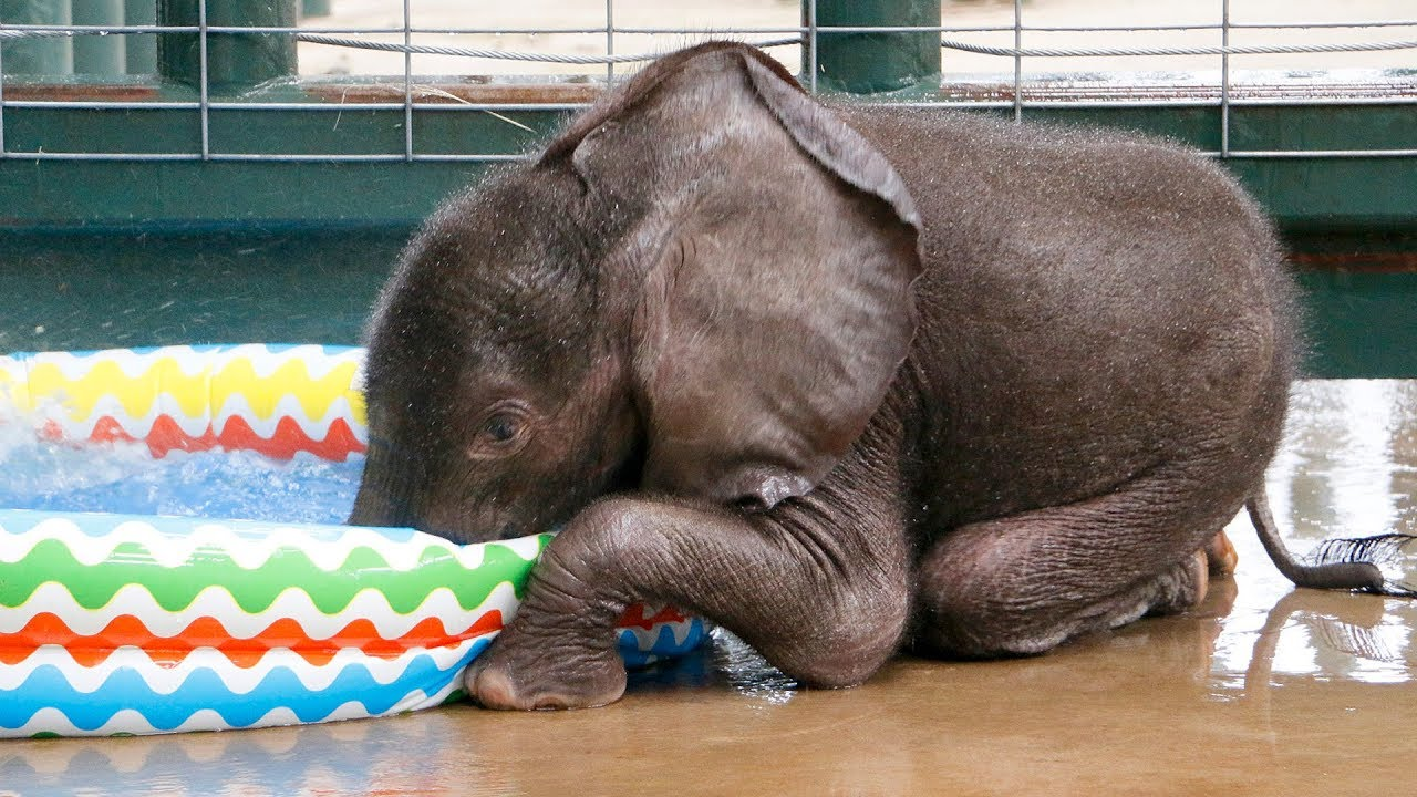 Первое купание 2-месячного слоненка