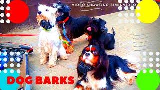 Собака лает Dog barks Подпишитесь на канал https://www.youtube.com/c/ziminvideo Собака лает. Забавные собаки ждут своего хозяина. Белая собачка постоянно лает и напоминает хозяину, что мы здесь и ждём