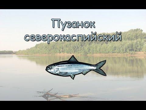Русская рыбалка 3.99 Пузанок северокаспийский