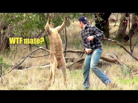 Muž vs. kengura