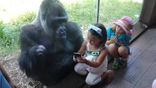 Download Youtube: MUST SEE!!!!! SWEET GORILLA JELANI LOVES AND TELLS PEOPLE TO SWIPE TO NEXT PICTURE ON PHONE