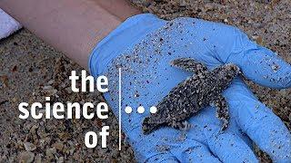 Floridas Endangered Sea Turtles... Part 6. Excavating Nest 78 – Baby Sea Turtles!