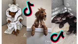 😂 Funny and Cute Cockapoo 😍 Dogs and Puppies Tiktok Compilation