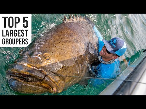Top 5 BIGGEST Goliath Groupers Caught