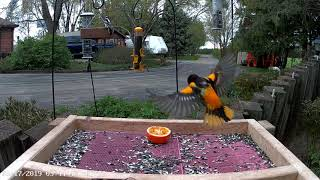 Baltimore Oriole traffic and Orange Nomming @ our Birdfeeders