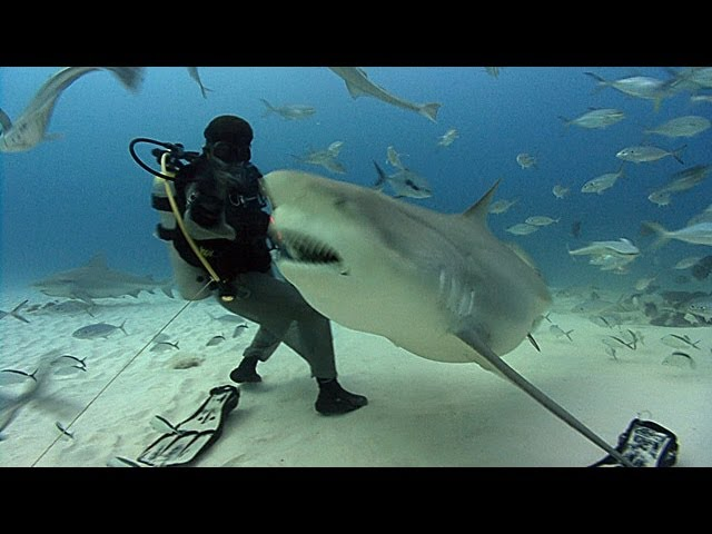 Bull Sharks | JONATHAN BIRD'S BLUE WORLD