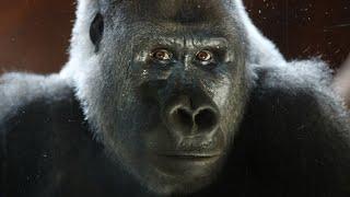Watch the Toronto Star's livestream of Gorillas at the Toronto Zoo