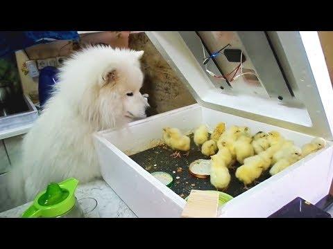צפו במפגש המצחיק בין כלבים לגורי חיות אחרות...