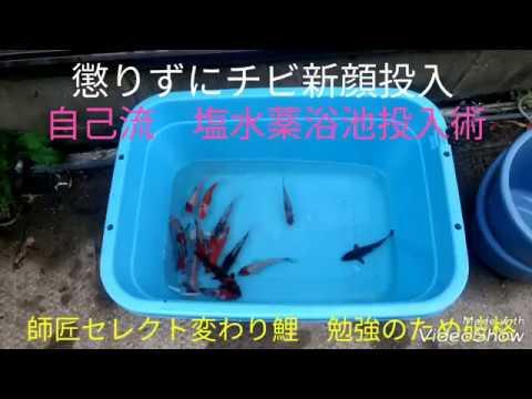 【癒やしの庭18】錦鯉稚魚 自己流の塩水薬浴術🌟新顔変わり鯉投入