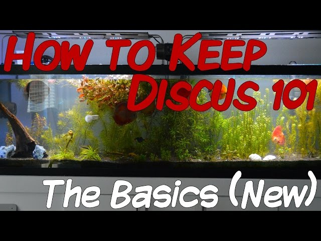 How to Keep Discus 101 | The Basics (New Remake)