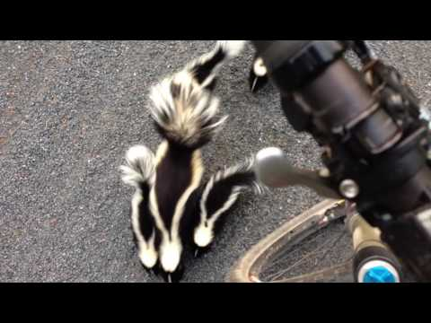 Adorable: Have You Ever Seen a Family of Skunks?