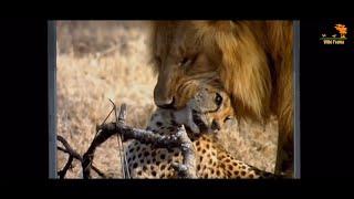Wild Fauna / Битва за территорию / Cat Wars: Lion vs. Cheetah / Документальный фильм