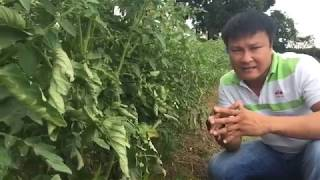 Tomato crop management and potential income
