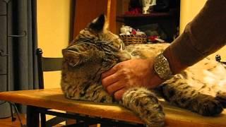 Wild bobcat in my house